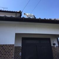 くーさん、屋根を歩く
