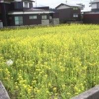 下界の菜の花