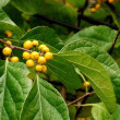 樹木ウォッチング冬から夏へ230ツルウメモドキ3