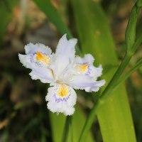 春の野の花~シャガ