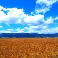 一面に色づく麦秋