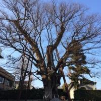 練馬   白山神社の大ケヤキ