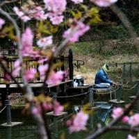 長閑な春 河津桜 に 釣り人と電車