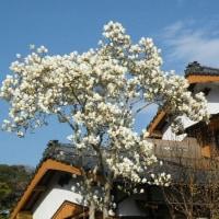 白木蓮とアーモンドの花
