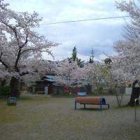 中野市の桜は満開です