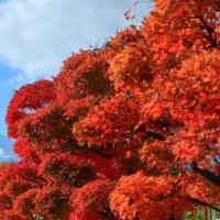 河口湖の紅葉まつりの頃