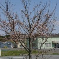 桜咲きました