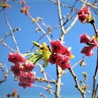 次は桜の塩漬けへ