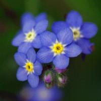 エゾムラサキ(蝦夷紫)の花