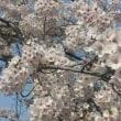 満開の桜の時期にタイヤ交換