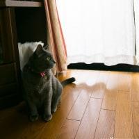 そんなにジッと見つめられると、キュンキュンしちゃうのだ! @ご自宅でネコ写真撮影