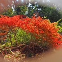 服部緑地都市緑化植物園の紅葉
