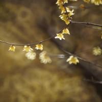 本日は1月の花ロウバイです
