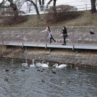 白鳥シーズン終了?高松の池