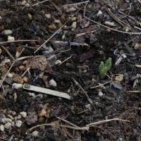 サクラソウの芽生え