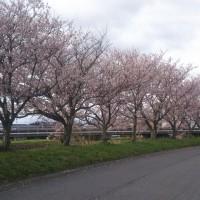 松阪市東黒部町の桜