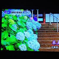 6/23 夏井先生 鎌倉の紫陽花