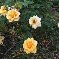 2017.5.17 朝の庭