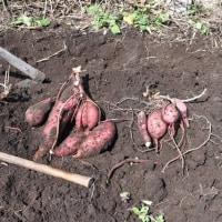 サツマイモの苗床を作りました 2017/03/14 (鹿児島)