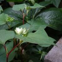 八重咲きドクダミ