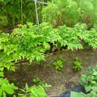 野菜畑で見つけた珍野菜