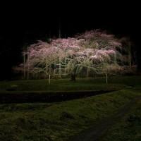 桜シリーズⅣ