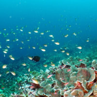 Koh Bon West Ridge - Similan, Andaman Sea, Thailand - ウエストリッジ、ボン島 #987