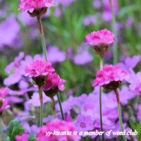 ピンクのお花たち