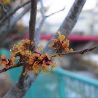 """春の訪れを告げる""""マンサク""""..."""