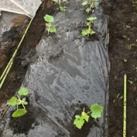 蕎麦処ないとう 苗の植付