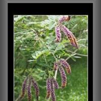 イタチハギの花