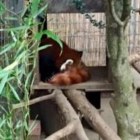 熱川バナナワニ園♪レッサーパンダ&アンソリウム&ソテツ♪