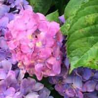 紫陽花とペチュニア