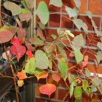 玄関のナンキンハゼが紅葉しはじめました(+長男の単独介護日記)の巻