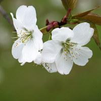 桜咲く(Ⅲ)