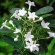 <マダガスカルジャスミン> 純白の花からジャスミンに似た甘い香り