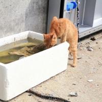 瀬戸内A島の猫たち 2016年 7月 その3