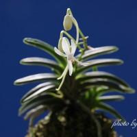 フウラン 山採り豆葉(淡路産)の花