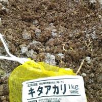 ジャガイモの定植