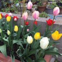春はお花の季節 〜 チューリップ編 〜
