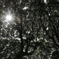 スダジイ森の天井