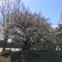 全国的に雪の予報ですが梅が咲く(船ネット)