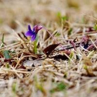 スミレの季節です♪・・濃い紫色が美しいヒメスミレ