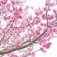 「素敵なさくら」 いわき 新川の桜並木にて撮影! チョウベイザクラ