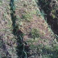 ネギとサトイモ、サツマイモを植えました