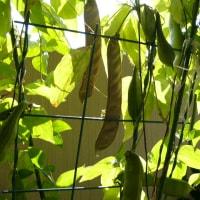 なた豆の生育時期と生育地域