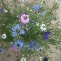 久しぶりの雨で花数増えました