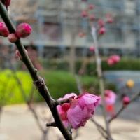 1/18 梅の花が咲いた