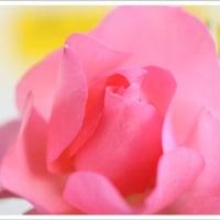 Rose 2017