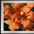 7月13日今日の花